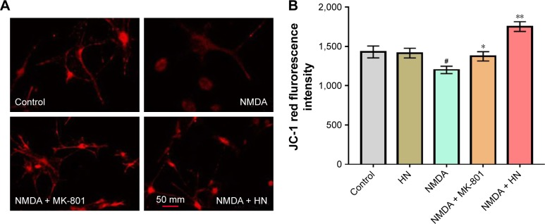 Effect of HN on NMDA-induced mitochondrial membrane potential reduction. Notes: ( A ) Visualization of mitochondrial membrane potential in cortical neurons under a laser confocal scanning microscope (×400). Primarily cultured cortical neurons (1×10 6 ) were stained by JC-1 on 9th day in vitro. ( B ) Changes of mitochondrial membrane potential in cortical neurons treated with NMDA with or without HN. Data are the mean ± SD of 5 independent experiments. Data were analyzed by 1-way ANOVA followed by post hoc Tukey's test for multiple comparisons. # Control group versus NMDA group, P =0.002; *NMDA group versus NMDA + MK-801 group, P =0.026; **NMDA group versus NMDA + HN group, P =0.000. NMDA: 100 μmol/L; MK-801: 10 μmol/L and HN: 1 μmol/L. NMDA is an excitotoxin that induces the overactivation of the NMDA receptor, causing excitotoxicity. MK-801 is a known uncompetitive antagonist of NMDA receptor, which could block the binding of NMDA. Abbreviations: ANOVA, analysis of variance; HN, humanin; NMDA, N -methyl-D-aspartate; SD, standard deviation.