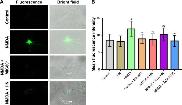 Effect of HN on NMDA-induced ROS production. Notes: ( A ) ROS production was visualized under confocal microscope (×400). ( B ) Changes in cellular ROS production in cortical neurons treated with NMDA with or without HN. A total of 1×10 6 cells were quantified. Data are the mean ± SD of 5 independent observations by flow cytometry. Data were analyzed by 1-way ANOVA followed by post hoc Tukey's test for multiple comparisons. # Control group versus NMDA group, P =0.000, *NMDA group versus NMDA + MK-801 group, P =0.000; **NMDA group versus NMDA + HN group, P =0.001, ## control versus NMDA + S7A-HN, P =0.019; ***NMDA versus NMDA + AGA-HNG, P =0.022. NMDA: 100 μmol/L; MK-801: 10 μmol/L; HN, S7A-HN, and AGA-HNG: 1 μmol/L each. NMDA is an excitotoxin that induces the overactivation of the NMDA receptor, causing excitotoxicity. MK-801 is a known uncompetitive antagonist of NMDA receptor, which could block the binding of NMDA. Abbreviations: AGA-HNG, 100× more active form of HN; ANOVA, analysis of variance; HN, humanin; NMDA, N -methyl-D-aspartate; ROS, reactive oxygen species; S7A-HN, inactive form of HN; SD, standard deviation.