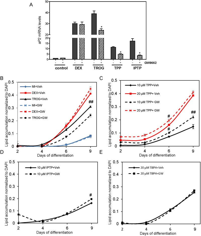 The effects of selective PPARγ antagonist GW9662 on aP2 mRNA expression and lipid accumulation in the presence of troglitazone, TPP, IPTP, and TBPH. Murine 3T3-L1 preadipocytes were induced to differentiate in the presence of 500 μM IBMX (M), 100 nM insulin (I), supplemented with indicated treatments: 5 μM troglitazone (TROG), 0.25 μM dexamethasone (DEX), 20 μM TPP, 10 μM IPTP, or 20 μM TBPH with either solvent control (Veh) or PPARγ inhibitor GW9662 (GW) twice daily. ( A ) At day 6 of differentiation mRNA expression levels of aP2 were quantified by RT-qPCR normalized to MI control conditions. ( B-E ) At days 2, 4, 6, and 9 lipid accumulation was visualized using Nile Red staining and then quantified. Lipid accumulation was normalized to DAPI staining. Data represent mean ± SEM for n = 3 independent experiments. * denotes p