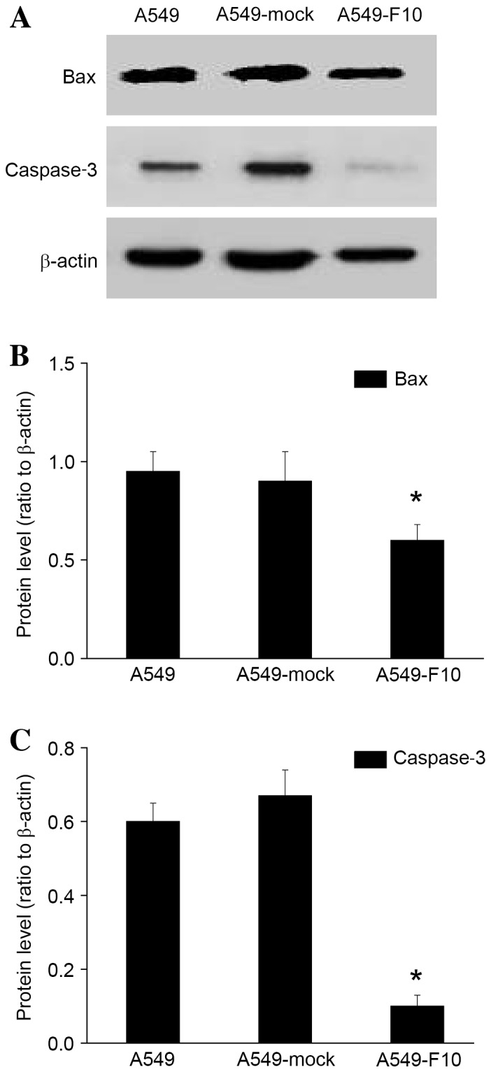 F10 reduced BAX and caspase-3 protein expression levels in paclitaxel-treated A549 cells. (A) The expression of BAX and caspase-3 was determined by a western blot analysis of paclitaxel-treated untransfected A549 cells, A549-mock cells or A549-F10 cells. The band signals of BAX and caspase-3 were normalized to that of β-actin. (B) The expression levels of BAX in paclitaxel-treated A549-F10 cells was lower compared with the untransfected A549 cells and A549-mock cells (*P