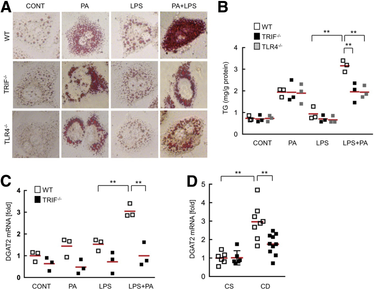 The TLR4–TRIF signaling enhances palmitate-induced fat accumulation in hepatocytes. Wild-type (WT), TRIF -/- , and TLR4 -/- hepatocytes were treated with 200 μmol/L palmitate and/or 100 ng/mL LPS for 24 hours. ( A ) Representative pictures of Oil Red O staining. Original magnification, ×400. ( B ) Triglyceride (TG) concentrations in hepatocytes. ( C ) WT and TRIF -/- hepatocytes were treated with 200 μmol/L palmitate and/or 100 ng/mL LPS for 12 hours. Messenger RNA (mRNA) expression of DGAT2 was determined by quantitative real-time PCR. Similar results were obtained in 2 independent experiments. A representative result is shown. ( D ) WT and TRIF -/- mice were fed a choline-supplemented amino acid–defined diet (CS) or CDAA (CD) diet for 22 weeks (n = 5-9, each). Hepatic DGAT2 mRNA expression was determined by quantitative real-time PCR. White square , wild-type mice; black square , TRIF -/- mice; gray square , TLR4 -/- mice. ** P