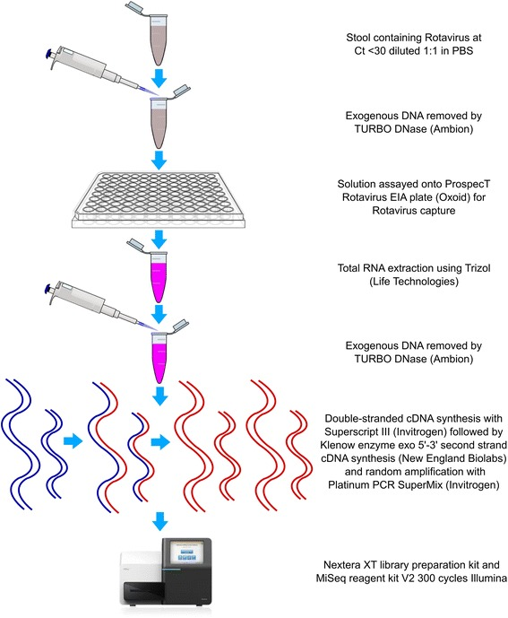 The procedure for rotavirus capture and nucleic acid preparation prior to genome sequencing. Flow diagram describing the major protocol steps required for the purification of RoV and the amplification of RoV specific nucleic acid for next generation genome sequencing. Image of Illumina MiSeq obtained from https://assets.illumina.com/content/dam/illumina-marketing/images/systems/miseqdx/web-graphic-miseq-front-comparison-chart.jpg . Clipart image of pipette obtained from http://www.clker.com/clipart-pipette-with-tip.html . Clipart image of 96-well plate obtained from http://cyberuse.com/96-well-plate-template.html . Clipart image of Eppendorf tube obtained from http://www.clker.com/clipart-eppendorf-tube-with-open-cap-1.html and edited in Adobe Illustrator