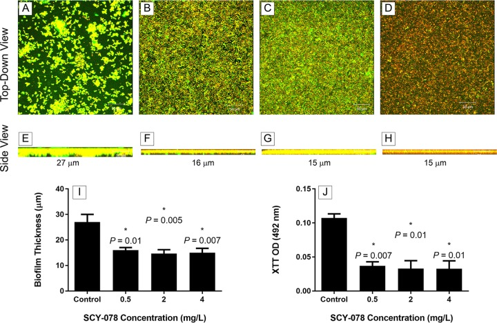 Confocal scanning laser microscopy analyses of the effect of SCY-078 on biofilms formed by C. auris . Biofilms formed by C. auris MRL 31102 were exposed to no drug (control) (A, E) or SCY-078 at different concentrations: 0.5 mg/liter (B, F), 2 mg/liter (C, G), or 4 mg/liter (D, H). Top-down views (A to D) and side views (E to H) of untreated and treated biofilms are shown. Magnifications, ×25. (I and J) The thickness (I) and metabolic activity (J) of untreated (control) and SCY-078-treated biofilms. *, P value compared to the results for the untreated control (no drug). A P value of