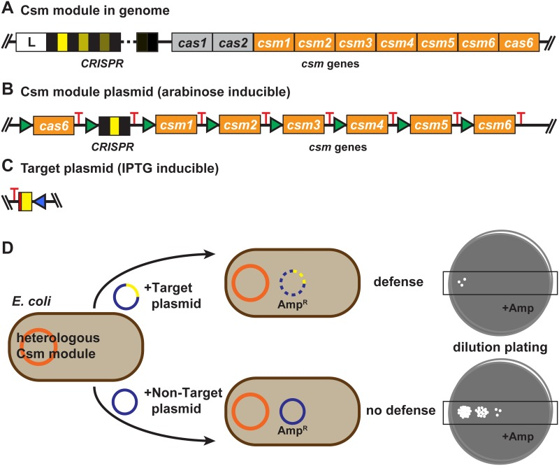 Csm module plasmids, target plasmids, and the plasmid targeting assay. (A) Representative genome organization of a Csm CRISPR-Cas module locus. The organization shown is based on Staphylococcus epidermidis (SEP) RP62a (GenBank NC002976). The CRISPR leader sequence (L, white box) is located upstream of the CRISPR, which can consist of various numbers of spacers (shades of yellow; 17 in SEP, 3 in STH, and 15 in LLA) bracketed by repeats (black). cas1, cas2, cas6, and csm1-csm6 genes are found in proximity to the CRISPR. The relative organization of the cas1, cas2 and cas6 genes is slightly different in Streptococcus thermophilus (STH) JIM 8232 (GenBank FR875178.1) and Lactococcus lactis (LLA) DGCC 7167 plasmid pKLM (GenBank JX524189.1). In addition, the STH Csm system includes a second csm6 gene (csm6-2) that was not used in this work. The LLA-associated module (found on LLA-associated plasmid pKLM) lacks a cas2 gene and includes an lch gene that shows partial homology to the relE/parE toxin gene. (B) Csm module plasmids. For each Csm system (SEP, STH and LLA), csm1-6 and cas6 sequences were codon-optimized for expression in E. coli and inserted as illustrated into a pACYC vector with chloramphenicol resistance and p15-derived origin of replication (ori). A T7 promoter (green) was engineered upstream of the csm and cas6 genes and CRISPR, providing increased expression in the presence of arabinose in BL21AI. A T7 terminator (or variant; red) was engineered downstream of each element. (C) Target plasmids. A target sequence comprised of the spacer of the corresponding Csm system (yellow) was inserted into a <t>pTrcHis-TOPO</t> plasmid with ampicillin resistance and pBR322-derived ori. The Trc promoter element (blue) allows IPTG-inducible increase in expression of a target RNA complementary to the crRNA of the Csm system. The sequence flanking the target (red) was designed so that the sequence of the DNA target strand and the target RNA was identical to, and would not int