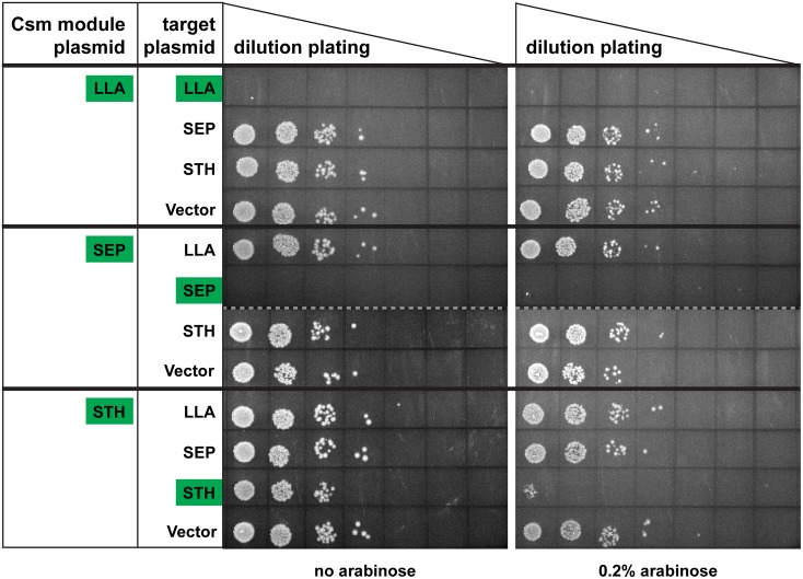 Csm modules prevent plasmid invasion in E . coli . The BL21-AI strains containing the indicated Csm module plasmids (first column; LLA, SEP or STH) were each transformed with four target plasmids (second column; LLA, SEP, STH or vector). A series of 10-fold dilutions (10 0 to 10 6 ) of transformed cells were plated on a LB agar containing 50 μg/ml ampicillin and 34 μg/ml chloramphenicol with or without 0.2% arabinose as indicated. Representative results of 3 experiments are shown. Corresponding Csm modules and targets are indicated with green boxes. Dashed lines separate data from different plates.
