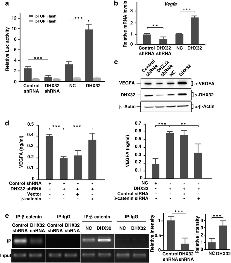 """DHX32 promotes transcription of VEGFA in CRC cells. (a) SW480 stable cells were transfected with β-catenin/TCF luciferase reporter gene pTOPFLASH or mutated pFOPFLASH, pRL-TK as internal control. The mean ± SD of a representative result of three independent experiments is shown. (b) Real-time RT-PCR analyses of VEGFA expression in SW480 cells with DHX32 depletion or overexpression. (c) Endogenous VEGFA protein levels in SW480 cells with DHX32 overexpression or depletion were detected by immunoblotting. (d) SW480 stable cells with depletion DHX32 were transfected with β-catenin and DHX32-overexpressed stable cells were transfected with control siRNA or siRNA against β-catenin. VEGFA protein levels in condition medium were quantified by ELISA analysis. (e) Representative PCR gel of ChIP assays showing binding of β-catenin to the VEGF promoter over the <t>IgG</t> control. Immunoprecipitate was carried out using an antibody to β-catenin. Nonimmunoprecipitated chromatin was used as an """"input"""" control, and an IgG antibody control was performed on all occasions. The PCR primers were amplified in the − 262 to − 101 region of the VEGF promoter. ** P"""