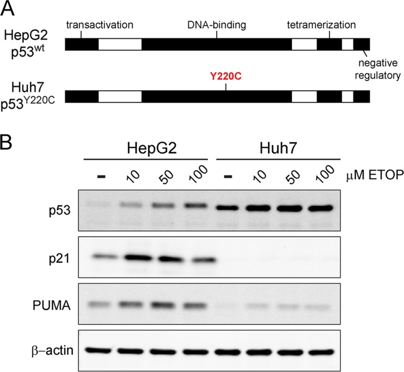Comparison of p53 responses in HepG2 and Huh7 cells. (A) Schematic representation of p53, including key functional domains. HepG2 cells express functional, wild-type p53, whereas Huh7 cells express Y220C-mutated p53 that is aberrantly stable and transcriptionally inactive ( 12 , 13 ). (B) Immunoblots of p53 and its transcriptional targets, p21 and PUMA, in lysates of HepG2 and Huh7 cells treated with increasing concentrations of etoposide (ETOP) or DMSO control for 6 h. β-Actin was used as a loading control.