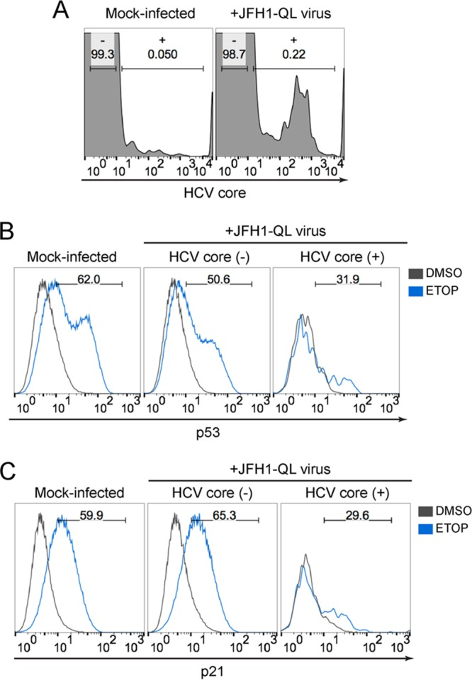 p53 activation is impaired in cells inoculated with infectious HCV. (A) Flow cytometric analysis of HepG2-HFL cells 72 h after mock infection or inoculation with JFH1-QL virus (MOI of 0.5). Cells were gated into mock-infected (-) versus virus-infected (+) populations based on HCV core protein staining in mock-infected cells. The percentage of cells in each population is indicated. (B) p53 accumulation in cells that do not express HCV core [HCV core (-)] versus cells that express HCV core [HCV core (+)]. The cells were treated with 50 μM etoposide or DMSO control for 6 h. Numbers indicate the percentages of p53-positive cells following etoposide treatment. (C) p21 upregulation in HCV core (-) cells versus HCV core (+) cells treated as described for panel B. Numbers indicate the percentages of p21-positive cells following etoposide treatment.