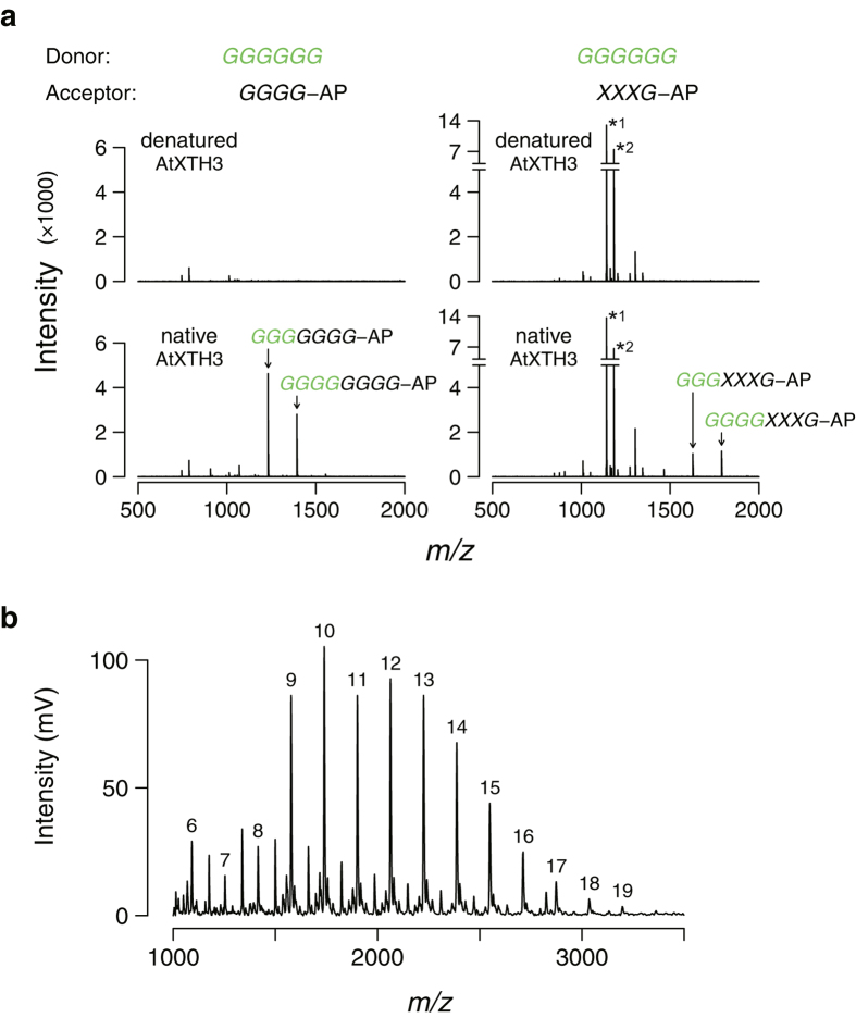Characterization of AtXTH3 transglycosylation products. ( a ) LC/ESI-TOF mass spectra of reaction products generated in the course of AtXTH3-mediated transglycosylation (top: denatured; bottom: native) using cellohexaose ( GGGGGG ) as the donor substrate, and aminopyridyl cellotetraose ( GGGG -AP) (left) or xyloglucan-heptasaccharide ( XXXG -AP) (right) as the acceptor substrate. Two major peaks specifically detected in each native AtXTH3 preparation are annotated. The letters in green represent the structure of the donor substrate and its moiety transferred to the acceptor. The assay conditions for all reactions were set to remove the majority of the donor and acceptor substrates, although a fraction (less than 10%) of the acceptor remained (*1: [ XXXG -AP + H] + ; *2: [ XXXG -AP + OAc + H] + ). ( b ) MALDI-TOF mass spectrum of insoluble products of the AtXTH3-mediated transglycosylation where aminopyridyl cellohexaose ( GGGGGG -AP) was the sole substrate. The numbers above peaks denote the degree of polymerization.