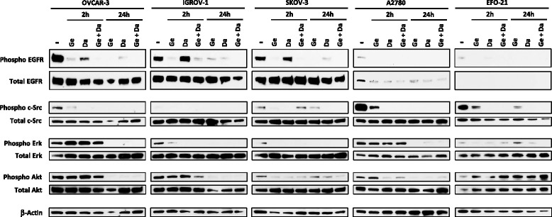 In vitro molecular effects of Dasatinib, Gefitinib or a combination of both drugs in HOAC signaling pathways. HOAC were treated 2 h or 24 h with Dasatinib (Da), Gefitinib (Ge) (0.1 × IC50 of each cell line after 72 h of treatment) or an equieffective combination of Dasatinib and Gefitinib (Da + Ge) (0.1 × IC50 of each drug alone). The EGFR, phospho-EGFR, c-Src, phospho-c-Src, ERK, phospho-ERK, Akt, phospho-Akt (p-Akt) and β-actin levels were determined by western blot using specific antibodies. Immunocomplexes were visualized by autoradiography