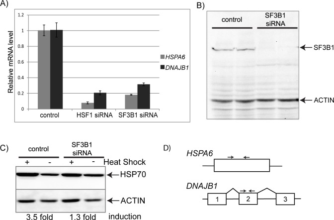 Depletion of SF3B1 inhibits the HSR. (A) qRT-PCR analysis of mRNA levels of two heat shock genes, HSPA6 and DNAJB1 , in cells that have been treated with either HSF1 siRNA or SF3B1 siRNA and subjected to a 1 hour heat shock at 42°. Data is shown relative to mRNA levels in heat shocked cells treated with a nonsilencing control siRNA. (B) Western blot analysis of cells treated with SF3B1 siRNA or a nonsilencing control siRNA probed with both anti-SF3B1 and anti-ACTIN antibodies. Two biologically independent replicates for each sample are shown. (C) Western blot analysis of cells treated with SF3B1 siRNA or a nonsilencing control siRNA and probed with anti-HSP70 or anti-ACTIN antibodies. Heat shocked cells were subjected to a 1 hour at 42° and then allowed to recover for 4 hours at 37° before harvesting. Induction levels of HSP70 were quantitated by densitometry from the blots and normalized to ACTIN. Fold induction upon heat shock is shown. (D) Diagram showing the qPCR primer locations for HSPA6 and DNAJB1 .