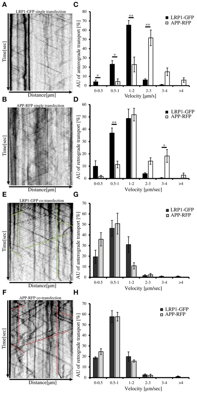 LRP1 recruits APP in common transport vesicles . Primary hippocampal neurons from mice (P0) were differentiated for 6 days in vitro , expressing either (A) only LRP1-GFP, (B) APP-RFP or (E,F) alternatively co-expressing both, APP-RFP and LRP1-GFP were subjected for live cell imaging 18–20 h post transfection. Time lapse series were plotted as kymographs (representative kymographs, single transfection: A , B ; co-transfection: E , F ) and used for determination of individual transport vesicle velocities. For quantification of transport velocities > 5 kymographs from different cells were analyzed [ (C,D) LRP: n = 5 cells, n = 534 vesicles; APP: n = 7 cells, n = 254 vesicles; (G,H) n = 5 cells, n = 371 vesicles]. (C) Anterograde and (D) retrograde transport vesicles containing APP-RFP (white columns) or LRP-GFP (black columns). Note the change of APP-RFP transport characteristcs in (G) anterograde and (H) retrograde direction (light gray columns) upon co-expression of (G,H) LRP1-GFP (dark gray columns). Bars represent mean values ± SEM, n > 5 (≥254 vesicles); Student's t -test, p