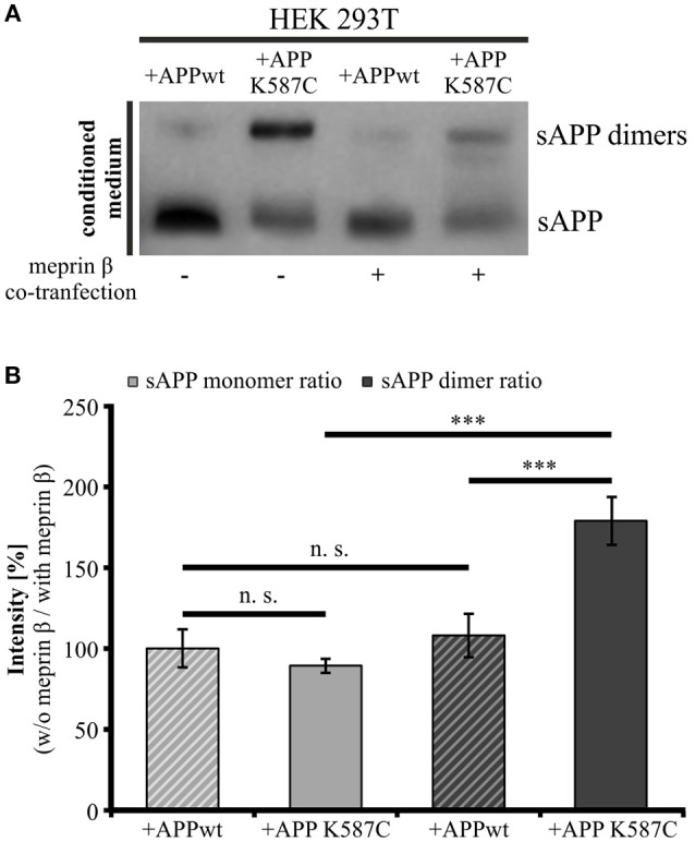 Meprin β cleaves sAPP dimers with a higher affinity than monomeric sAPP . HEK 293T cells were transiently transfected with the APP695 wt or the APP695 K587C construct either alone or in co-transfection with meprin β. (A) Conditioned medium was probed 24 h post transfection with the antibody mix 1G75A3 (1:3,000) directed against the APP ectodomain. Meprin β expression resulted in a reduced signal intensity of soluble APP, especially prominent for sAPP dimers in cells expressing the APP Cys-mutant (APP695 K587C). (B) For quantification the ratio of sAPP monomers and sAPP dimers, respectively, was calculated as the quotient of signal intensities in cells just transfected with an APP construct (w/o meprin β) to appropriate cells co-expressing meprin β (with meprin β). This analysis revealed a similar reduction in dimerized and monomeric sAPP for cells transfected with APP695 wt. In contrast, HEK cells expressing the dimer bearing construct show a significant increase in the sAPP dimer ratio compared to sAPP monomer ratio. Bars represent mean values ± SEM, n = 4; one-way ANOVA with Tukey's post-hoc test; p