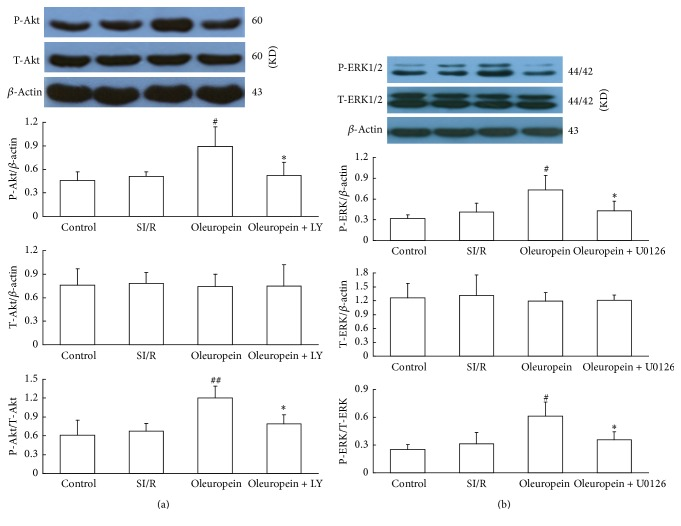 Oleuropein increased phosphorylation of Akt (a) and ERK1/2 (b) in neonatal rat cardiomyocytes subjected to SI/R. The effects of oleuropein were blocked by LY294002 (PI3K inhibitor) or <t>U0126</t> (ERK inhibitor). Total ERK1/2 and Akt levels were not significantly different among the groups. All data were presented as mean ± SE ( n = 4). SI/R: simulated ischemia/reperfusion. # P