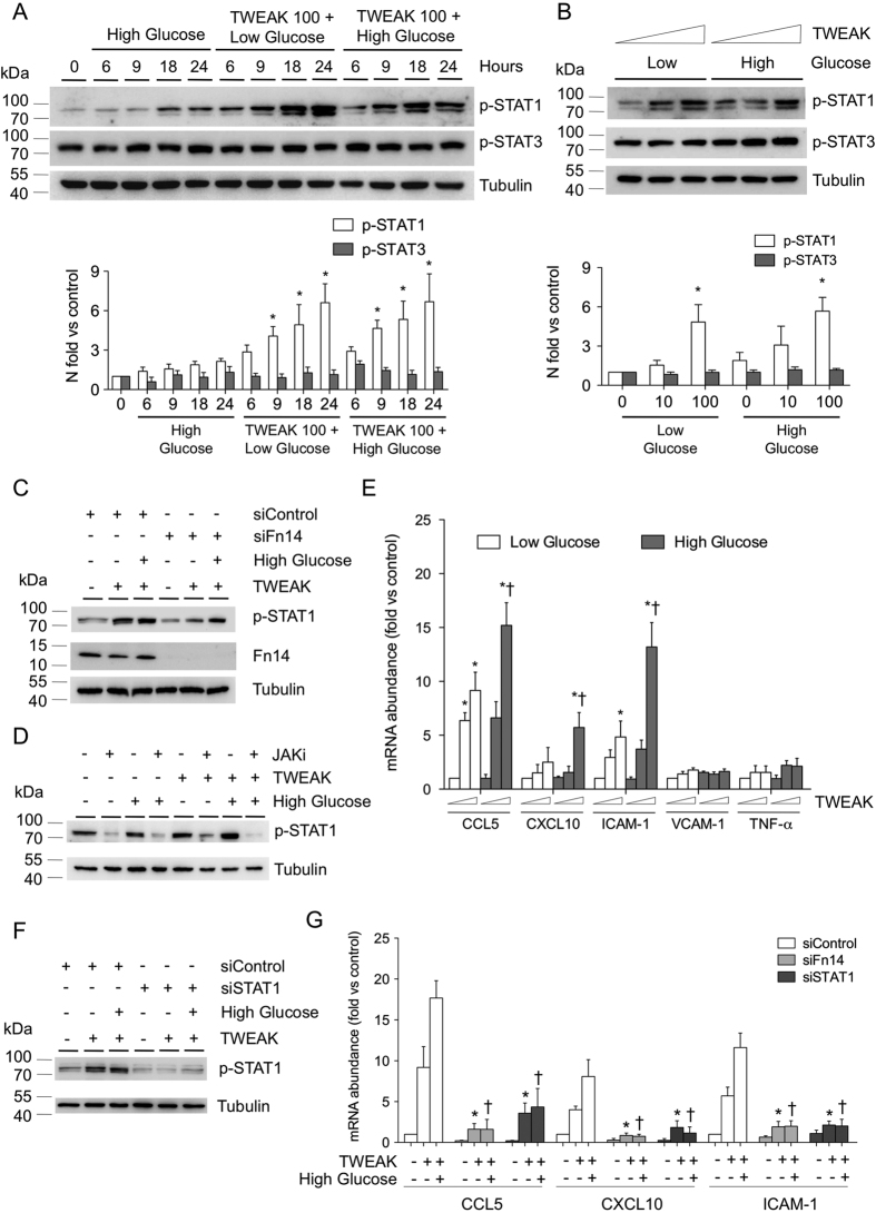 TWEAK activates STAT1 and induces pro-inflammatory chemokine expression in VSMCs. ( A ) Representative western-blot analysis of pSTAT1 and pSTAT3 in murine VSMCs incubated with low (5.5 mmol/L) or high (35 mmol/L) glucose and rTWEAK (100 ng/mL) for 0–24 hours. Values normalized to tubulin expression are expressed as multiples of control conditions (arbitrarily set to 1). N = 4 independent experiments. Full-length blots are in Supplemental Figure S1 . ( B ) Representative western-blot analysis of pSTAT1 and pSTAT3 in murine VSMCs incubated with low (5.5 mmol/L) or high (35 mmol/L) glucose and rTWEAK (0, 10 or 100 ng/mL) for 24 hours. Values normalized to tubulin expression are expressed as multiples of control conditions (arbitrarily set to 1). N = 4 independent experiments. Full-length blots are in Supplemental Figure S2 . ( C ) Immunodetection of p-STAT1 and Fn14 in murine VSMCs under transfection transfected with either specific siRNA for Fn14 or universal negative control siRNA and stimulated with rTWEAK (100 ng/mL) for 24 hours. N = 4 independent experiments. Full-length blots are in Supplemental Figure S3 . ( D ) Representative western-blot analysis of pSTAT1 in murine VSMCs incubated with low (5.5 mmol/L) or high (35 mmol/L) glucose and rTWEAK (100 ng/mL) for 24 hours in presence or absence of JAK inhibitor (250 nM). N = 4 independent experiments. Full-length blots are in Supplemental Figure S4 . ( E ) Quantitative real time PCR analysis of CCL5, CXCL10, ICAM-1, VCAM-1 and TNF-α mRNA expression in murine VSMCs stimulated with TWEAK, in the presence of low or high glucose concentrations. Values shown are mean ± SD. N = 6 experiments *p