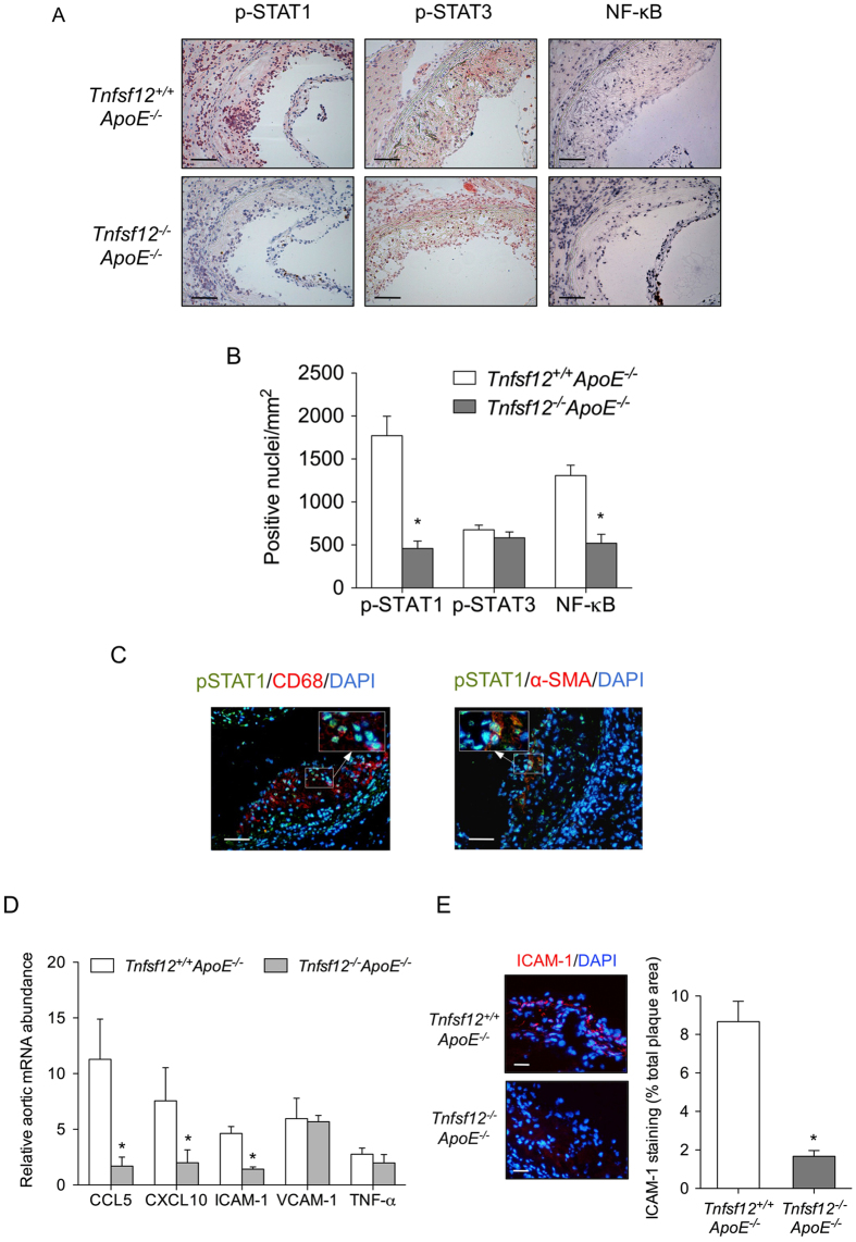 TWEAK activates STAT1 and induces pro-inflammatory chemokine expression in diabetic mice. ( A ) Representative immunostaining and ( B ) quantification of p-STAT1, p-STAT3 and activated NF-κB in aortic lesions from Tnfsf12 +/+ ApoE −/− and Tnfsf12 −/− ApoE −/− diabetic mice. Values shown are mean ± SD of Tnfsf12 +/+ ApoE −/− (N = 12) and Tnfsf12 −/− ApoE −/− (N = 12) mice. Scale bar, 200 μm. *p