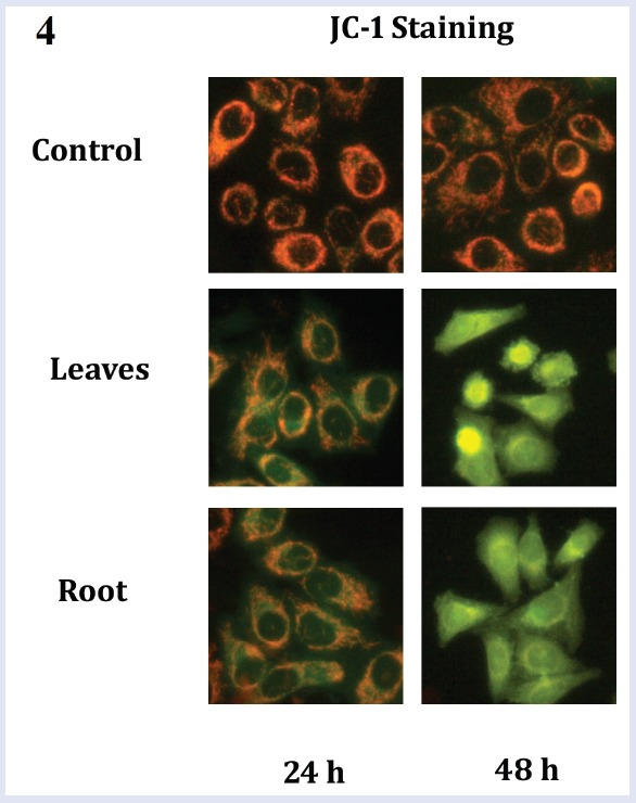 The <t>caspase-3</t> activity in HepG2 cells treated with the leaves and root extracts (IC 50 concentration) for 24 h and 48 h (n = 3) as determined by colorimetric assay. Untreated cells were used as control for comparison. Statistical comparison was made using one-way ANOVA followed by Bonferroni (* denotes p
