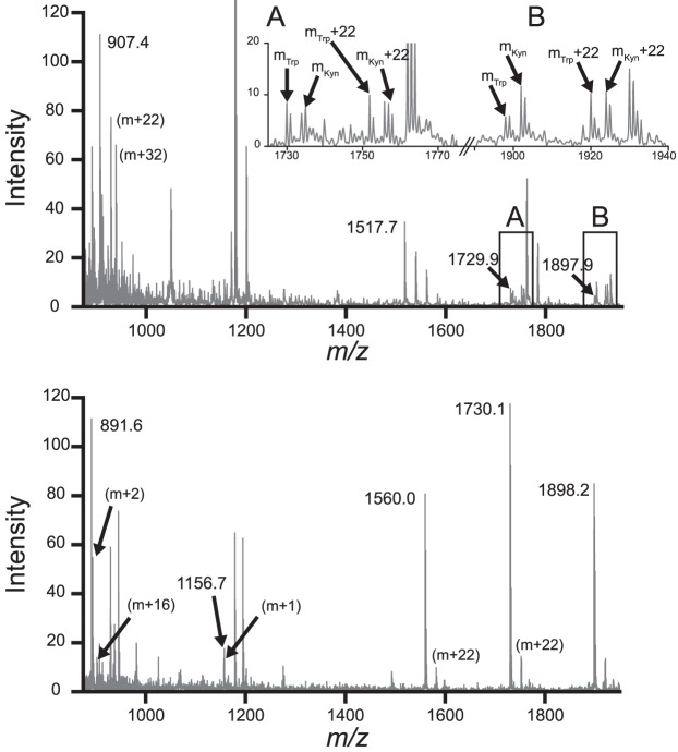 Representative <t>MALDI-TOF</t> spectra of trypsin-digested samples of γS-WT and γS-G18V after UV-A irradiation. Mass fragments were identified by manual comparison of mass-to-charge ratio peaks to the theoretical peaks and isotopic mass distributions from MS-Digest ( http://prospector.ucsf.edu , in the public domain). Additional mass fragments corresponding to identifiable molecular weight changes are labeled with the specific mass difference, that is, m + 16. Top : The γS-WT spectrum is shown with selected fragments annotated. Insets A and B display the observed cases of m + 4 peaks in matched fragments containing a Trp residue. An m + 4 mass difference matches a Trp-to-Kyn PTM. The masses for each peak are labeled as m Trp and m Kyn . Bottom : The γS-G18V distribution is shown with annotations indicating each of the observed peaks matching an MS-Digest fragment. Kyn, kynurenine.