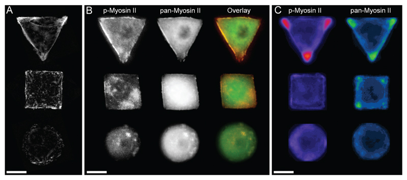 (A) Micropatterned hMSCs stained against F-actin after 24 hours incubation. Triangular and square shaped cells result in formation of large stress fibres on the cell perimeter spanning from on edge to another, while round cells show a cortical F-actin network with smaller fibres. (B) Micropatterned cells stained for myosin IIa show a similar trend in myosin fibre formation as observed by the cell shape dependent changes of actin cytoskeleton. The separate images as well as overlay of pan-myosin IIa (green) as well as phospho-myosin IIa (red) is shown. (C) Immunofluorescence intensity heat maps of > 30 micropatterned single hMSCs stained for phosphorylated-myosin IIa and pan-myosin IIa. Higher intensity is represented by brighter colours. Scale bar = 20 µm.