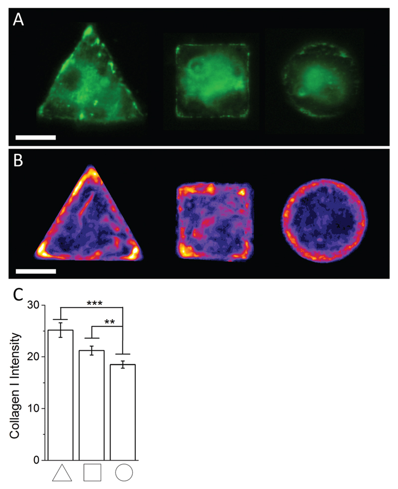 (A) Representative immunofluoresence images of micropatterned hMSCs stained against collagen I. (B) Immunofluoresence intensity heatmaps of triangular, square, and circular shaped micropatterned hMSCs stained against collagen I illustrate the previously observed localisation dependent signal intensity and overall collagen I abundance across the whole cell population quantitatively. Scale bar = 20 µm. (C) Immunofluorescence image quantification of the average signal intensity of micropatterned hMSCs stained against collagen I.