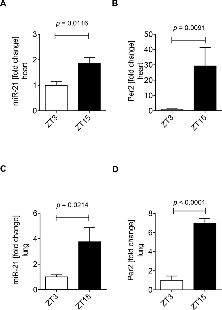 Diurnal expression of miR-21 in murine hearts and lungs. Analysis of cardiac ( A ) or lung ( B ) mir-21 and Per2 levels from wildtype mice at Zeitgeber Time (ZT) 3 or ZT15. Total RNA was isolated from murine heart or lung tissue using Qiazol Reagent and separated into mRNA and miRNA components following manufactures instructions (SA-Biosciences, Qiagen). cDNA from miRNA was generated using miScript RT II kits (Qiagen) and transcript levels were determined by quantitative real-time RT-PCR (iCycler; Bio-Rad Laboratories Inc.; mean±SD, n = 3, p