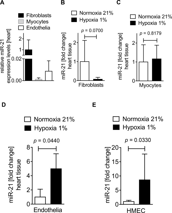 miR-21 expression in different cardiac tissues at baseline and during hypoxia. Fibroblasts or myocytes were isolated from C57BL6/J mouse hearts and endothelial cells isolated from C57/BL6 mice were purchased from Cell Biologics for analyzing miR-21 expression at baseline or hypoxic (1% oxygen) conditions. miRNA was isolated using RNeasy Mini Kit (Qiagen), cDNA was generated using miScript RT II kits (Qiagen), and transcript levels were determined by quantitative real-time RT-PCR (iCycler; Bio-Rad Laboratories Inc.). ( A ) Relative miR-21 expression levels in C57BL6/J mouse isolated cardiac fibroblasts, myocytes, and endothelia at baseline (mean±SD, n = 3, not significant ). ( B ) miR-21 expression in cardiac fibroblasts subjected to normoxia or hypoxia for 6 h (mean±SD, n = 6, not significant ). ( C ) miR-21 expression in cardiac myocytes subjected to normoxia or hypoxia for 1 h (mean±SD, n = 3, not significant ). ( D ) miR-21 expression in cardiac endothelia subjected to normoxia or hypoxia for 6 h (mean±SD, n = 6, p