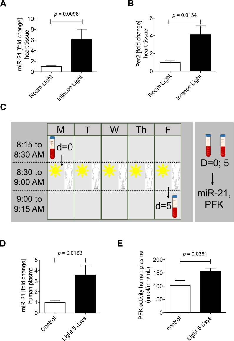 Effects of intense light on miR-21 regulation in mice and human subjects. (A-C) Wildtype mice were exposed to broad spectrum intense light (10,000 lux) for 7 days (LD 14:10) and compared to controls that were maintained at room light (200 lux, LD 14:10). Total RNA was isolated from murine hearts using Qiazol Reagent and separated into mRNA and miRNA components following manufactures instructions (SA-Biosciences, Qiagen). cDNA from miRNA was generated using miScript RT II kits (Qiagen) and miR-21 or Per2 transcript levels were determined by real-time RT-PCR (iCycler; Bio-Rad Laboratories Inc.; mean±SD, n = 3, p