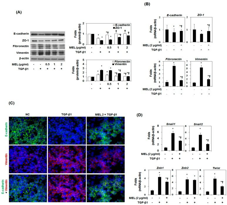 Effects of melittin (MEL) on TGF-β1-induced epithelial-to-mesenchymal transition (EMT) in vitro. Cells were pretreated for 1 h with MEL, followed by incubation with TGF-β1 for 48 h. ( A ) MEL inhibited the TGF-β1-stimulated EMT marker in AML12. The quantitative ratios are shown as relative optical densities of bands that are normalized to the expression of β-actin; ( B ) E-cadherin, ZO-1, fibronectin and vimentin mRNA expression was analyzed by real-time PCR in vitro. The quantitative ratios are shown as relative optical density that are normalized to the expression of β-actin; ( C ) Immunofluorescence double staining for E-cadherin (green) and vimentin (red) in TGF-β1-stimulated AML12 after treatment of MEL. Cells was counterstained with Hoechst 33342 (blue). Magnifications ×200; ( D ) Real-time PCR of EMT related gene markers. The quantitative ratios are shown as relative optical density that are normalized to the expression of β-actin. The data are representative of three similar experiments and quantified as mean values ± S.E. * p