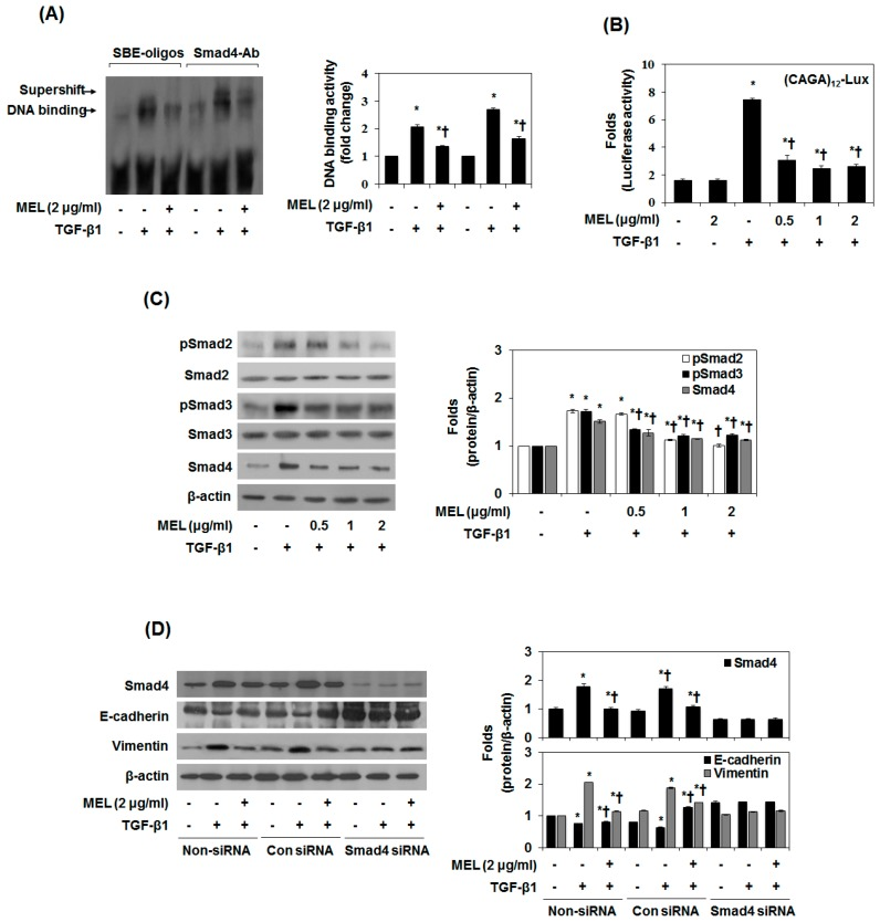 MET antagonizes the TGF-β1-stimulated Smad signal pathway in vitro. Cells were pretreated for 1 h with MEL, followed by incubation with TGF-β1 for 24 h. ( A ) Nuclear extracts were subjected to SBE DNA binding and Smad4 antibody (Ab) assay by EMSA supershift assay; ( B ) MEL inhibits TGF-β1-dependent transcriptional activity of the CAGA x12 -Luc reporter in a dose-dependent manner; ( C ) Immunoblot of the effect of MEL on the TGF-β1-stimulated pSmad2, pSamd3 and Smad4; ( D ) AML12 was transfected with control (Con) or specific Smad4 siRNA and then treated with TGF-β1 for 24 h or 48 h. The quantitative ratios are shown as relative optical densities of bands that are normalized to the expression of β-actin. The data are representative of three similar experiments and quantified as mean values ± S.E. * p