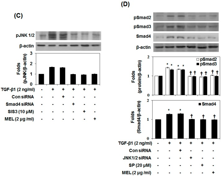 MEL antagonizes the TGF-β1-stimulated non-Smad/MAPK signal pathway. ( A ) Immunoblot of mitogen-activated protein kinase (MAPK). MEL strongly inhibited the TGF-β1-stimulated pJNK1/2; ( B ) AML12 was transfected with control (Con) or specific c-Jun N-terminal kinase (JNK)1/2 siRNA and then treated with TGF-β1 for 24 h or 48 h; ( C ) Smad4 siRNA, Smad3 inhibitor (SIS) and MEL inhibited TGF-β1-stimulated pJNK1/2 expression; ( D ) JNK siRNA, JNK inhibitor (SP, SP600125) and MEL inhibited TGF-β1-stimulated Smad4 expression. The quantitative ratios are shown as relative optical densities of bands that are normalized to the expression of β-actin. The data are representative of three similar experiments and quantified as mean values ± S.E. * p