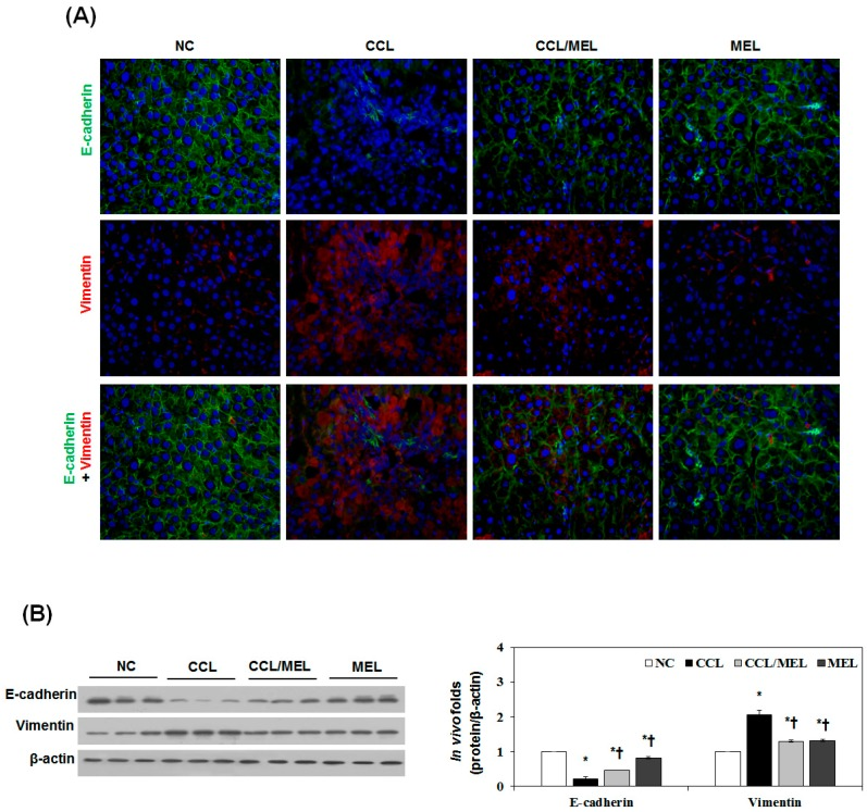 MEL suppressed CCl 4 -induced EMT in vivo. ( A ) Immunofluorescence double staining for E-cadherin (green) and vimentin (red) in CCl 4 induced changes in EMT markers. Cells was counterstained with Hoechst 33342 (blue). Magnifications ×200; ( B ) Immunoblot results show the effects of MEL on the inhibition of CCl 4 induced changes in EMT markers including E-cadherin and vimentin. The quantitative ratios are shown as relative optical densities of bands that are normalized to the expression of β-actin. The data are representative of three similar experiments and quantified as mean values ± S.E. * p