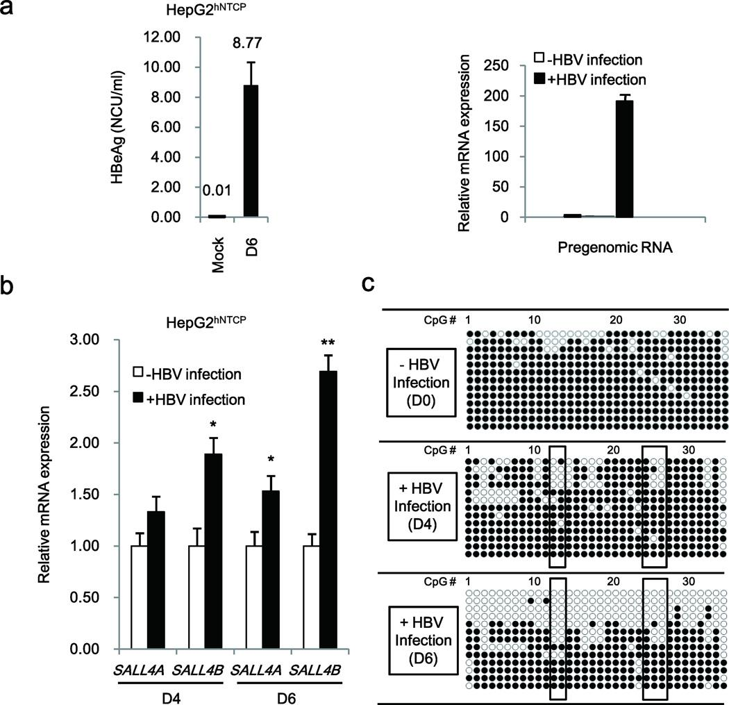 HBV infection induces DNA demethylation of SALL4 in HepG2 hNTCP cell line ( a ) Quantification of secreted HBeAg by ELISA (Left panel), and quantification of pregenomic RNA by QPCR (Right panel) after HBV infection for 6 days. ( b ) Quantification of SALL4 gene expression (SALL4A and SALL4B slicing variants) by QPCR after HBV infection for 4 and 6 days (D4, D6). ( c ) Bisulfite sequencing PCR results of SALL4 clones, using DNA from HepG2 hNTCP cells without (−) HBV infection (D0) or with (+) HBV infection at 4 and 6 days (D4 and D6). Open and closed circles denote unmethylated and methylated states, respectively. Error bars denote S.D. * P