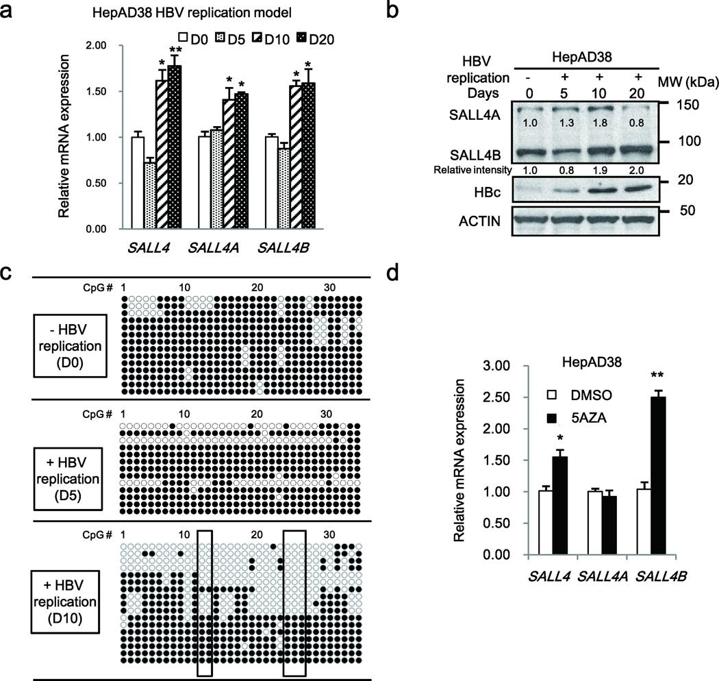 HBV replication induces DNA demethylation of SALL4 in HepAD38 cell line ( a ) PCR quantification of SALL4 mRNA in HepAD38 cells grown without (−) HBV replication (D0) or with (+) HBV replication by tetracycline removal for 5, 10, 20 days (D5–D20). Results are from three independent RNA isolations performed in identical triplicates. Error bars denote S.D. * P