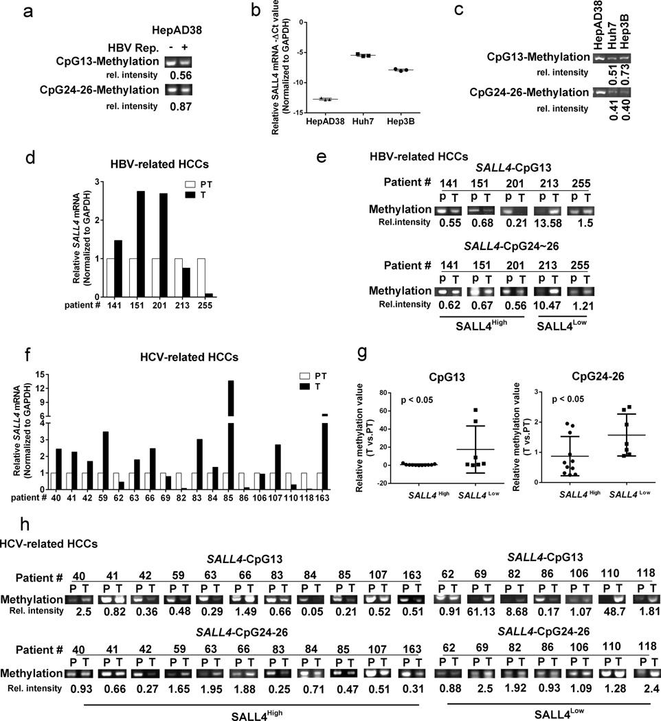 SALL4 re-expression in liver cancer cell lines and HCV-related HCCs via DNA demethylation ( a ) Methylation-specific PCR (MSP) assay for SALL4 CpG site 13 and CpG sites 24–26, employing genomic DNA from HepAD38 cells grown without (−) and with (+) HBV replication for 10 days, analyzed 2% agarose gel electrophoresis. Relative intensity quantified by ImageJ software is ratio of +/− HBV replication. ( b ) QRT-PCR of SALL4 mRNA expression employing RNA from HepAD38 cells grown in the absence of HBV replication, Huh7 and Hep3B cell lines. Data normalized to GAPDH. −ΔCt values are shown. ( c ) MSP assay for CpG site 13 and CpG24–26 using genomic DNA from HepAD38 (without HBV replication), Huh7 and Hep3B cells, analyzed by 2% agarose gel electrophoresis. Relative intensity quantified by ImageJ software is ratio of signal from Huh7 or Hep3B to HepAD38 cells. ( d ) and ( f ) QRT-PCR of SALL4 mRNA expression in HBV- and HCV- related liver tumors (T) vs. peritumoral tissue (PT); ( e ) and ( h ) MSP assay for methylation of CpG13 and CpG24–26 sites using genomic DNA of HBV- and HCV- related HCCs; relative intensity is ratio of T/PT. ( g ) Statistical analysis for methylation status of SALL4 CpG13 and CpG24–26 sites in patient samples with SALL4 High and SALL4 low mRNA expression, using unpaired t test; P