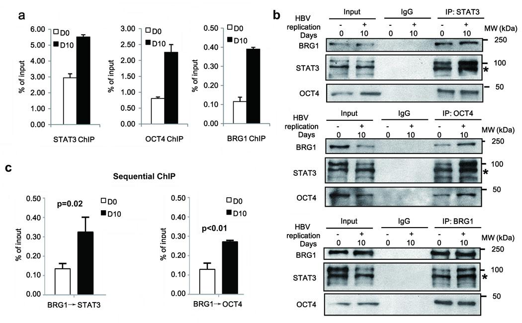 HBV replication enables binding and interaction of STAT3, OCT4 and BRG1 in SALL4 regulatory region ( a ) ChIP assays with STAT3, OCT4, and BRG1 antibodies, as indicated, employing HepAD38 cells grown −/+ HBV replication by tetracycline removal for D0 and D10, and SALL4 primers spanning CpG sites shown in Fig.1b . Data were quantified as % of input. ( b ) Co-immunoprecipitations (co-IPs) of STAT3, OCT4 and BRG1 using indicated antibodies, employing extracts from HepAD38 cells grown −/+ HBV replication by tetracycline removal for D0 and D10. A representative assay is shown from three independent experiments. ( c ) Sequential ChIP assays of HepAD38 cells −/+ HBV replication by tetracycline removal for D0 and D10, using BRG1 antibody followed by tandem IP with STAT3 or OCT4 antibody. Results are from three independent experiments. Data were quantified as % of input.