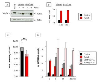 Ectopic Runx1 promotes S1P release from T‐lymphoma cells. (A) Total protein was extracted from p/m97 or p53/184 thymic lymphoma cells transduced with the pBabeRunx1 retroviral vector or the pBabePuro vector control and probed against antibodies to Runx1 (Cell Signalling #8229) or actin (Santa Cruz sc‐1616) as a loading control. Lymphoma cells over‐expressing Runx1 (9) were included as a positive control. (B) The blot was quantified using image J software and the Runx1 fold change indicated below the histogram. (C) Long chain ceramides were extracted from cell pellets from pBabePuro vector control and pBabeRunx1‐expressing T lymphoma cells (p/m97 shown), and separated, identified, and semi‐quantitated by HPLC mass spectrometry. The data are means ± SD where n = 4 from one experiment typical of two. Solid bars represent combined levels of 16.0, 24.1, and 24.0‐Cer ( P =