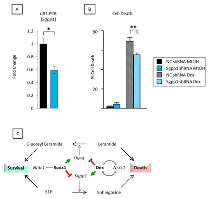 shRNA knockdown of Sgpp1 reduces dexamethasone‐mediated apoptosis. (A) qt‐RT‐PCR analysis of Sgpp1 expression in p/m97 cells stably infected with viral supernatants expressing an Sgpp1 or a non‐coding (NC) control shRNA sequence. Cells were grown for 6 h in the presence of 1.0 μM dexamethasone prior to RNA extraction and qt‐RT‐PCR analysis. The data were calculated as described in Fig. 4 C. (B) The same cells were plated in triplicate and grown for 36 h in the presence (Dex) and absence (MtOH) of 1.0 μM dexamethasone and monitored for live/dead counts by trypan blue exclusion. Knockdown of Sgpp1 had no effect on cell viability under control conditions but gave a significant reduction in cell death in the presence of 1.0 μM dexamethasone. (C) Interplay between Runx1 and dexamethasone on the expression of sphingolipid metabolism enzymes involved in the synthesis and breakdown of sphingosine and ceramide and their potential contributions to cell death and survival [Bianchini et al., 2006 ; Kilbey et al., 2010 ].