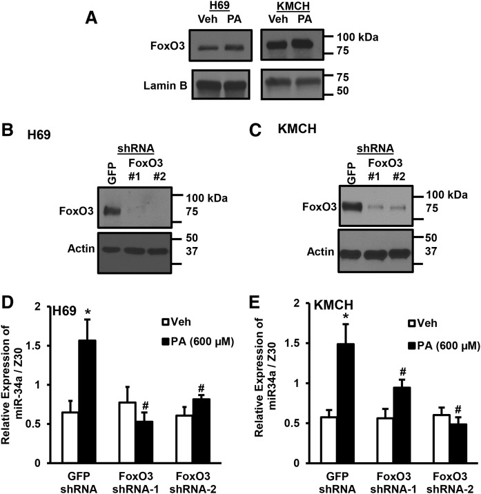 FoxO3 induced miR-34a expression. A: Nuclear extracts were prepared from H69 or KMCH cells treated with vehicle (Veh) or PA for 24 h. FoxO3 and lamin B were detected by immunoblot. B, C: Cell lines (H69 or KMCH) were transduced with shRNA to GFP or FoxO3 (two shRNAs, indicated as #1 or #2) and stably-transfected cells selected by antibiotic resistance. Whole-cell FoxO3 protein levels were compared with actin. D, E: GFP shRNA- or FoxO3 shRNA-transduced cells were treated with PA (600 μM; filled bars) or vehicle (Veh; open bars) for 24 h. miR-34a levels were normalized to Z30. Data represent the mean ± SEM for n = 4. * P