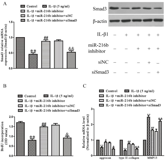 Smad3 was involved in the effects of miR-216b on IL-1β-induced cartilage degradation in SW1353 cells SW1353 cells were transfected with either miR-216b inhibitor or si-Smad3, and then treated with IL-1β (5 ng/ml) for 24 h. ( A ) The mRNA and protein levels of Smad3 were determined by qRT-PCR or Western blot respectively. Smad3 expression was normalized to β-actin. ( B ) Cell proliferation was assessed by BrdU-ELISA assay. ( C ) The mRNA levels of aggrecan, type II collagen, and MMP-13 were determined by qRT-PCR. β-Actin was detected as a loading control. All data are presented as mean ± S.E.M., n =4; ** P