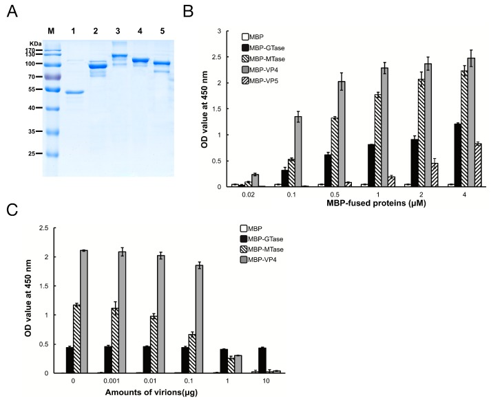 Maltose binding protein (MBP)-fusion protein binding to Se BBMVs. ( A ) Expression and purification of MBP-fusion proteins. MBP (lane 1), MBP-galactosyltransferase (GTase) (lane 2), MBP-methyltransferase (MTase) (lane 3), MBP-VP4 (lane 4), and MBP-VP5 (lane 5) were separated by 12% sodium dodecyl (lauryl) sulfate-polyacrylamide gel electrophoresis (SDS-PAGE); ( B ) Se BBMV proteins were coated on 96-well plates and incubated with the concentrations of MBP-fusion proteins indicated. The binding efficiency was determined with an anti-MBP mAb and HRP-labeled IgG as the secondary antibody. Nonspecific binding was determined with BSA coating instead of Se BBMVs; ( C ) MBP-fusion proteins (0.3 µM) were mixed with the amounts of purified DpCPV virions indicated, then added to the Se BBMVs-coated 96-well plates, and absorption was allowed for 1 h. Protein binding was determined as described above.