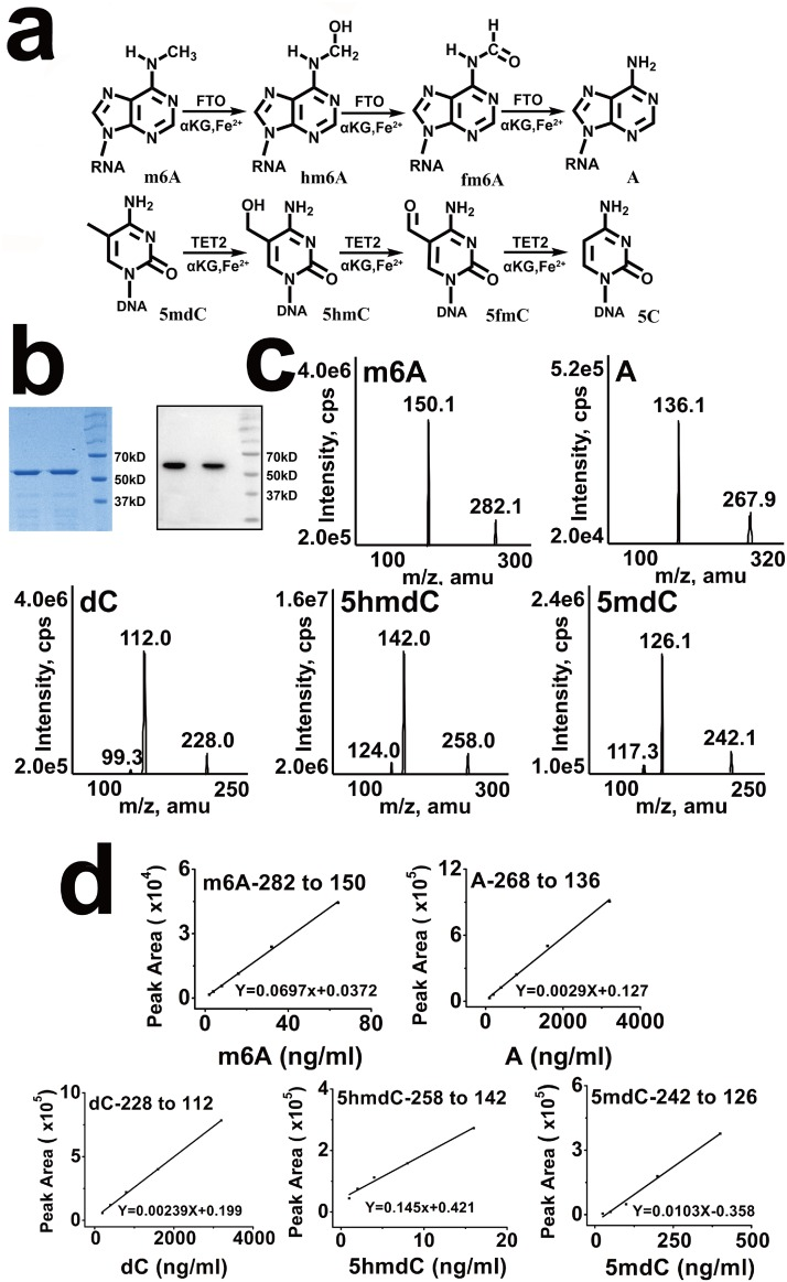 Characterization of several kinds of nucleoside modification in DNA and RNA. (a) Proposed oxidative demethylation of m6A to N6-hydroxymethyladenosine (hm6A) and N6-formyladenosine (f6A) in RNA by FTO and oxidation of 5mdC to 5hmdC and 5-formylcytosine (5fC) in DNA by TET2. (b) Coomassie staining and western blot of His-tagged full-length human FTO proteins purified from BL21(DE3)-PlysS E . coli . (c) Base ion mass transitions for LC-MS-MS analysis of A, m6A, dC, 5mdC and 5hmdC standard. The MRM transitions were monitored as follows: 267.9 to 136.1 (A); 282.1 to 150.1 (m6A); 228.0 to 112.0 (dC); 258.0 to 142.0 (5hmdC); 242.1 to 126.1 (5mdC). (d) LC-MS-MS standards curves of A, m6A, dC, 5mdC and 5hmdC.