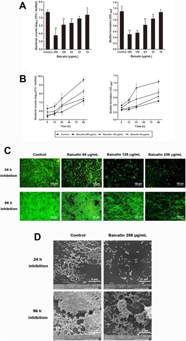 Inhibitory effects of baicalin on P . aeruginosa PAO1 biofilm formation. In the dose-dependent analysis ( A ), bacterial suspensions were seeded in 96-well flat-bottomed polystyrene microtiter plates exposed to sub-MICs of baicalin (16, 32, 64, 128, and 256 μg/mL) for 24 h, and biofilm mass formation and bacterial counts were quantified in triplicate. Values represent the mean ± standard deviation. * P