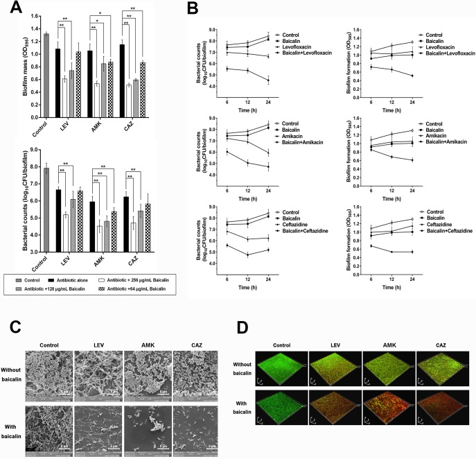 Baicalin as a co-treatment in combination with three conventional antibiotics to treat 24-h P . aeruginosa PAO1 biofilms. (A) P . aeruginosa PAO1 biofilm mass and bacterial counts were quantified after treating pre-existing 24-h biofilms with levofloxacin (1 μg/mL), tobramycin (8 μg/mL) and ceftazidime (2 μg/mL) alone or in combination with various sub-MICs (64, 128, and 256 μg/mL) of baicalin for 24 h. (B) Biofilms were exposed to baicalin (256 μg/mL), levofloxacin (1 μg/mL), tobramycin (8 μg/mL), ceftazidime (2 μg/mL) or a baicalin/antibiotic mixture for 6, 12 and 24 h, and changes in biofilm mass formation and bacterial counts were monitored over time. Experiments were performed in triplicate, and values represent the mean ± standard deviation. * P