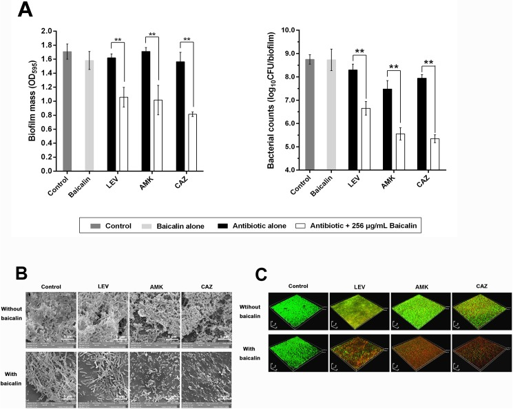 Baicalin as a co-treatment in combination with three conventional antibiotics to treat 96-h P . aeruginosa PAO1 biofilms. (A) P . aeruginosa PAO1 biofilm mass and bacterial counts were quantified after treating pre-existing 96-h biofilms with sub-MIC (256 μg/mL) of baicalin for another 24 h. Experiments were performed in triplicate, and values represent the mean ± standard deviation. ** P