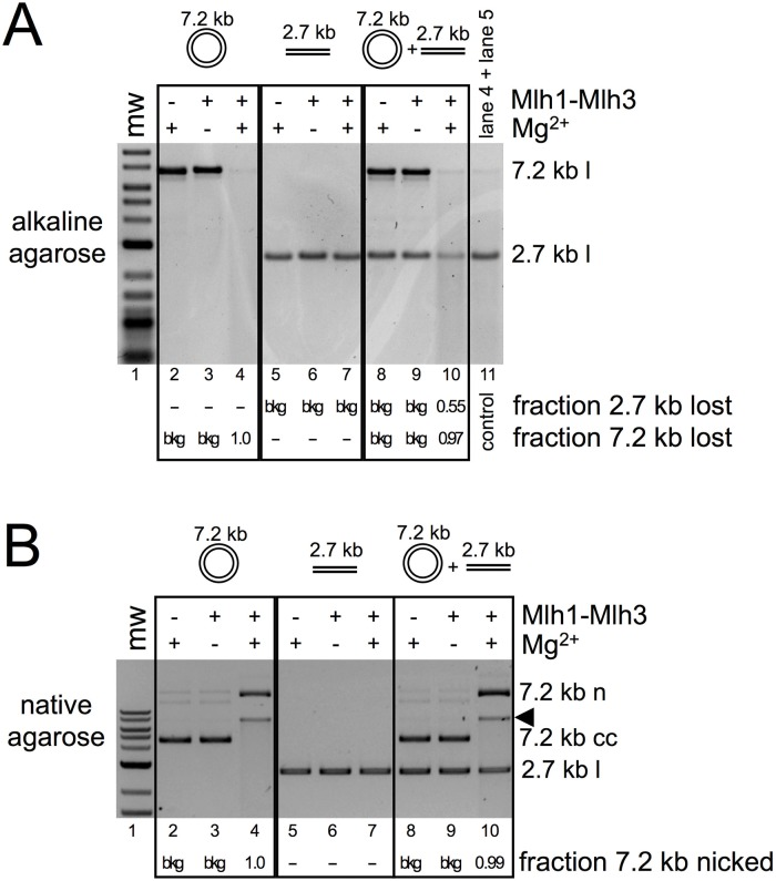 An activated Mlh1-Mlh3-DNA complex can nick DNA in trans. 0.7 nM 7.2 kb closed circular M13mp18 phagemid and 1.8 nM 2.7 kb linear pUC18 substrate were incubated with 300 nM Mlh1-Mlh3 under standard endonuclease assay conditions either in isolation or within the same reaction as indicated. (A) Reaction products were run on an alkaline agarose gel. The 7.2 kb substrate was linearized with Hin dIII prior to loading in the alkaline agarose gel. The material in lane 4 and 5 was mixed and run as a control in lane 11 to demonstrate the readout for a negative result. The fraction of DNA nicked was measured by determining the band density in either the 7.2 kb linear band or the 2.7 kb linear band by subtracting the density in a region immediately above the band as background and comparing it to the band densities in the negative controls. (B) Prior to linearization with Hin dIII, 10 μL of each reaction was removed and run on a native agarose gel.
