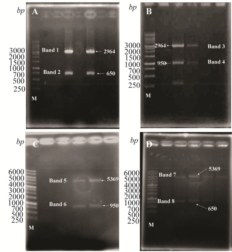 Digestion analysis of pJET1.2-CPA; A) pJET1.2-CPB; B) PET28a-CPA; C) and PET28a-CPB; D) with HindIII and BamH1. Band 1, 2:pJET1.2 (2964 bp ) and CPA (650 bp ), Band 3, 4: pJET1.2 (2964 bp ) and CPB (950 bp ), Band 5, 6: PET28a (5369 bp ) and CPB (950 bp ), and Band 7,8: PET28a (5369 bp ) and CPA (650 bp ).