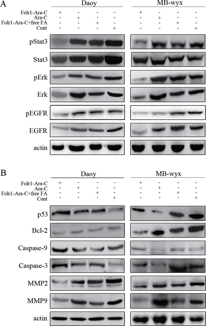 Molecular mechanisms of Folr1-Ara-C functions ( A ) Targeted effects of Folr1-Ara-C on the inhibition of EGFR, pEGFR, Erk, pErk and pStat3 in Daoy and MB-wyx cells after 8 h incubation. Lysates were analyzed for EGFR/pEGFR, pErk/Erk and pStat3/Stat3 antibodies using immunoblotting. β-actin was used as the protein loading control. ( B ) Immunoblotting analysis of MMP2, MMP9, Caspase-3/-9, Bcl-2 and p53 in Daoy and MB-wyx cells incubated with indicated agents, respectively. β-actin was used as the protein loading control.