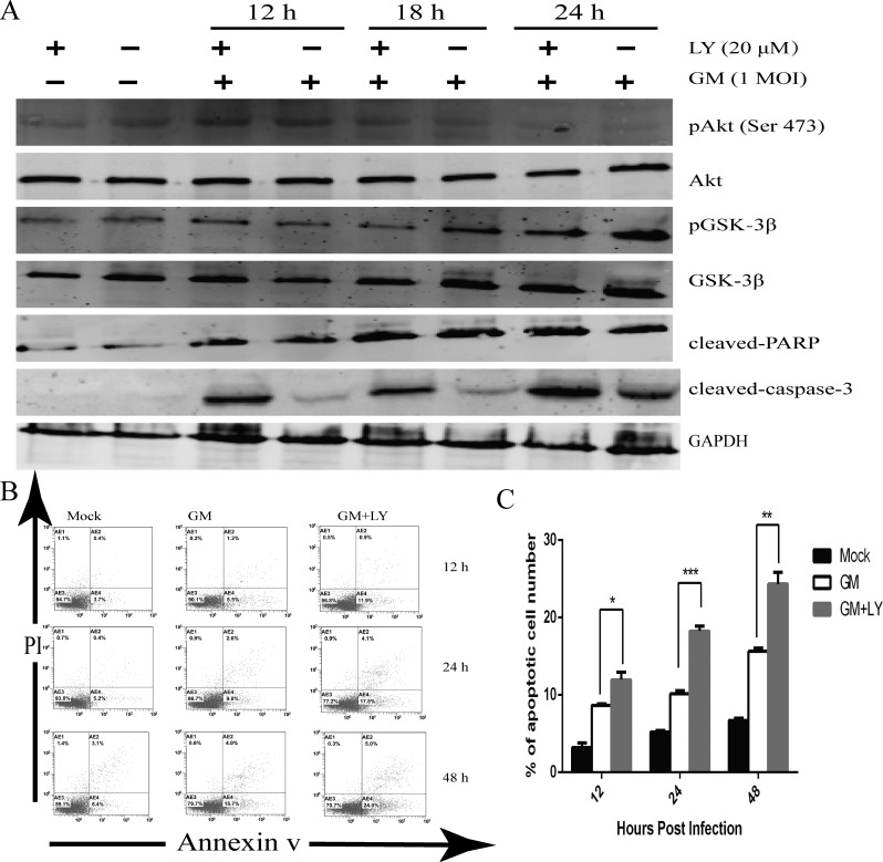 Inhibition of PI3K activity results in the apoptosis of CEF cells ( A ) CEF cells were preincubated with the PI3K inhibitor LY294002 (LY) (20 μM) or equal volumes of DMSO for 1 h. They were then infected with NDV-GM at an MOI of 1, and harvested and lysed at 0, 12, 18, and 24 hpi. Specific antibodies were used to assess the phosphorylation of Akt (Ser 473) and GSK-3β, as well as the cleavage of caspase-3 and PARP by western blot. ( B ) CEF cells were pretreated with the specific PI3K inhibitor LY294002 (20 μM) or equal volumes of DMSO for 1 h. After being infected with NDV-GM strain, they were harvested for annexin V apoptosis detection and PI double staining. Then they were analyzed by flow cytometry at 12, 24, and 48 h postinfection (hpi). ( C ) The number of apoptosis cells ( M ± SD of triplicates) are quantified in (B); * p