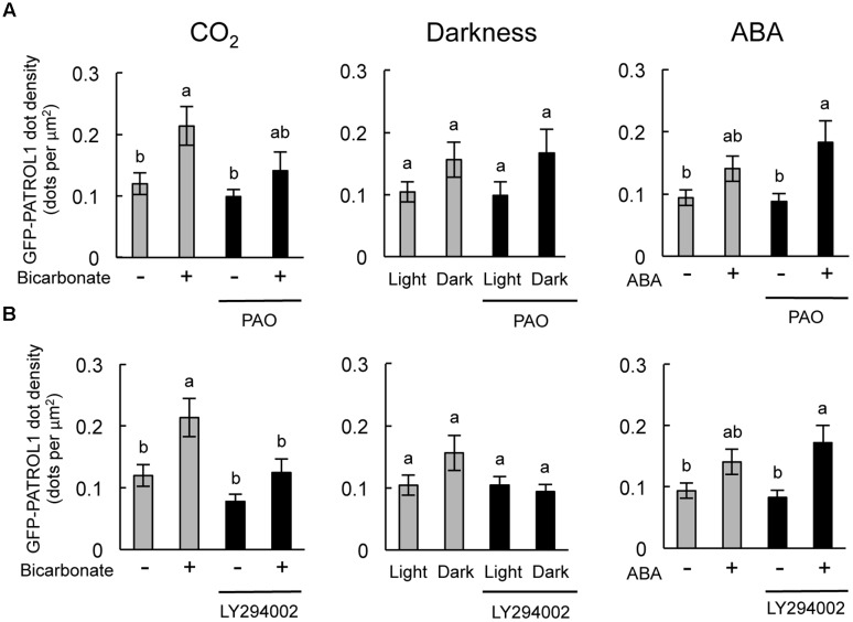 Effects of PAO and LY294002 on GFP-PATROL1 dot densities in cotyledonary guard cells in response to bicarbonate, darkness, and ABA. (A) Cotyledons were placed in opening buffer for 1 h in white light before being transferred to darkness or opening buffer containing 2 mM bicarbonate or 10 μM ABA with/without 2.5 μM PAO for 2 h. Error bars indicate ±SE of 12 independent experiments, and lowercase letters represent significantly different groups ( P