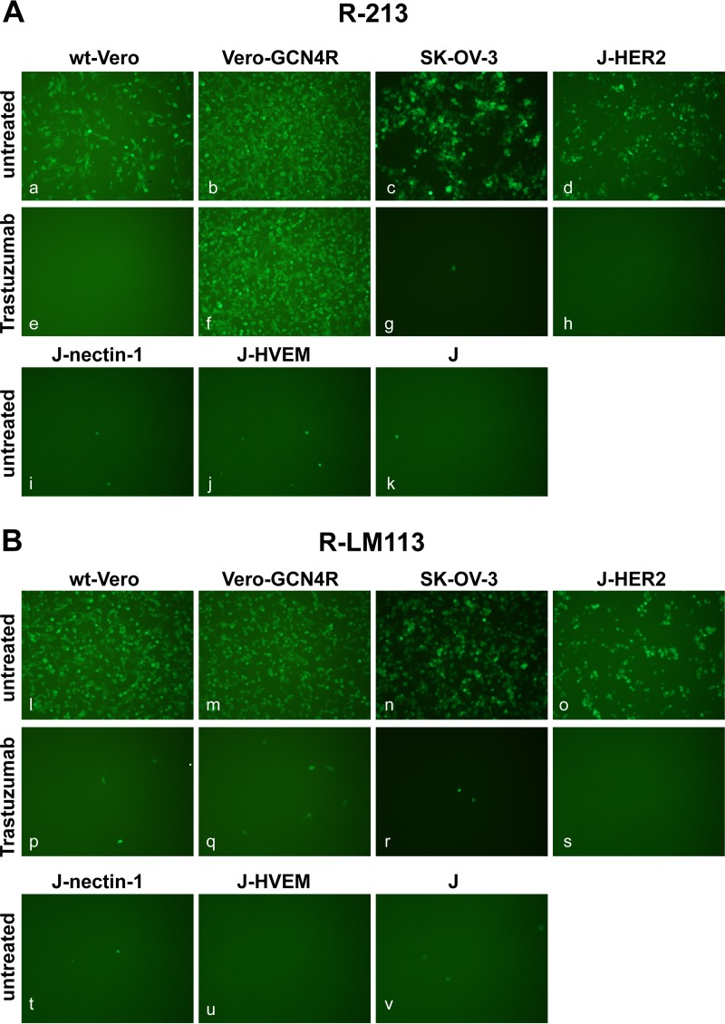 Double tropism of R-213 for Vero-GCN4R and HER2-positive cells. The indicated cells were infected with R-213 (A) or R-LM113 (B) at an MOI of 1 PFU/cell and monitored for EGFP expression by fluorescence microscopy 24 h postinfection. J-cells express no receptor for wt HSV; J-HER2, J-nectin-1, and J-HVEM express the indicated receptor. Cells in panels e to h and p to s were infected in the presence of the humanized anti-HER2 MAb trastuzumab at a concentration of 28 μg/ml. Some of the panels were adjusted as follows: 90% increase in brightness in panels a, b, c, e, f, g, l, m, n, p, q, and r.